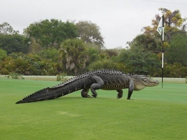 wptv-alligator-myakka-pines-club